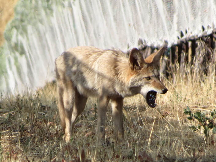 Photo of a coyote in the vineyard with a cluster of grapes in its mouth.