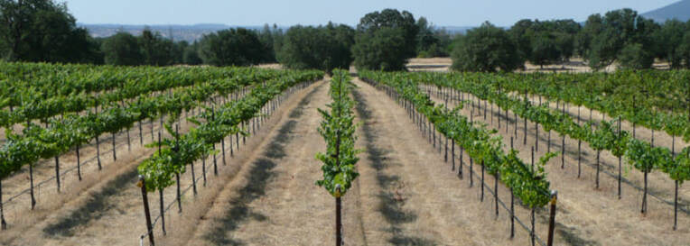 Photo of grapevine rows.