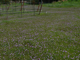Photo of the vineyard floor in spring with the filaree in bloom.