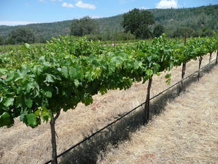 Photo of the grapevines in summer.