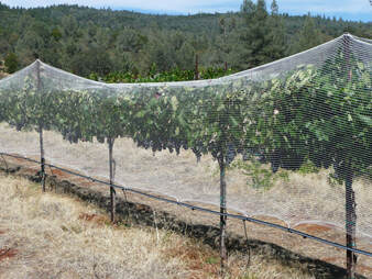Photo of the grapevines with bird netting installed.